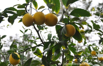 Meyer Lemon